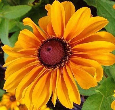 Photograph - Black-eyed Susan Blossom by Bruce Bley