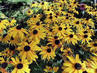 Photograph - Black Eyed Susan by Cindy Murphy - NightVisions