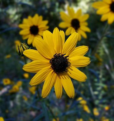 Photograph - Black-eyed Susan Closeup by Joe Duket