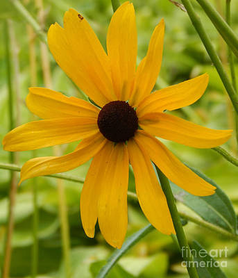 Photograph - Black Eyed Susan by Dave Nevue