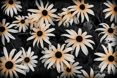 Photograph - Black Eyed Susan by Elena Elisseeva