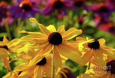 Photograph - Black Eyed Susan Fantasy by Rachel Cohen
