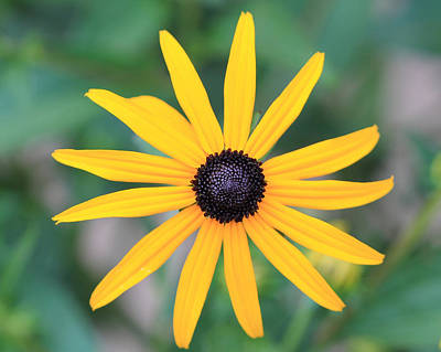 Photograph - Black Eyed Susan Flower by Angela Murdock