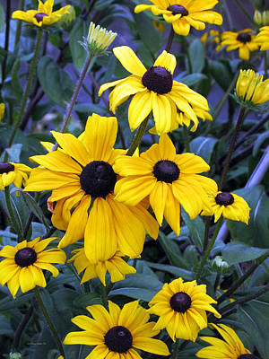 Photograph - Black Eyed Susan Flowers In Alaska by Connie Fox