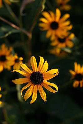 Photograph - Black-eyed Susan Flowers Looking Suspended In Air  by Bonnie Boden