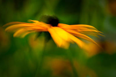 Photograph - Black-eyed Susan In The Wind by  Onyonet  Photo Studios