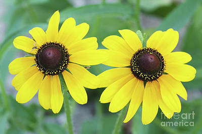 Photograph - Black-eyed Susan by Judy Whitton