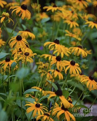 Photograph - Black-eyed Susan by Ken Johnson