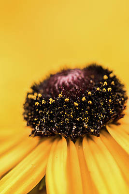 Antique Maps - Black Eyed Susan by M and D Photography
