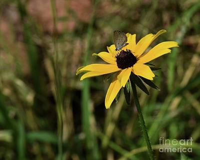 Photograph - Black-eyed Susan by Mark McReynolds