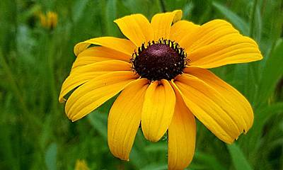 Photograph - Black Eyed Susan by Michael Graham