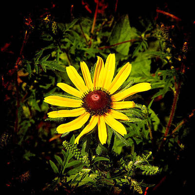 Photograph - Black Eyed Susan by Milena Ilieva