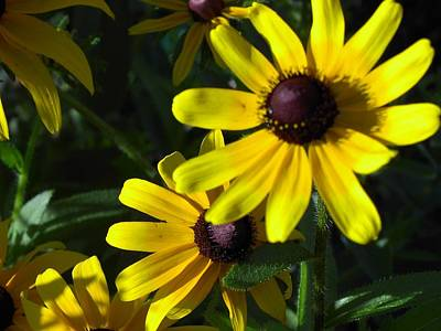 Black Eyed Susan Art Print by Mary-Lee Sanders