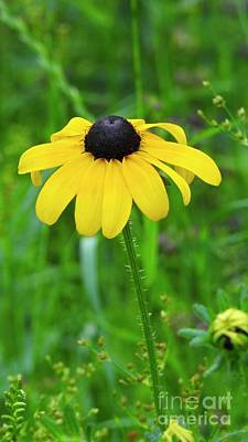 Photograph - Black Eyed Susan - N1218 by Ella Kaye Dickey