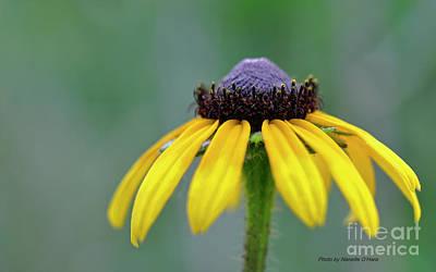 Photograph - Black-eyed Susan  by Nanette OHara
