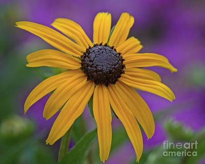 Photograph - Black Eyed Susan On Purple by Patricia Strand