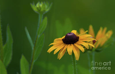 Photograph - Black-eyed Susan by Paul Mashburn