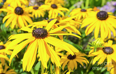 Black Eyed Susan Photograph - Black Eyed Susan Plant by Geoff Smith