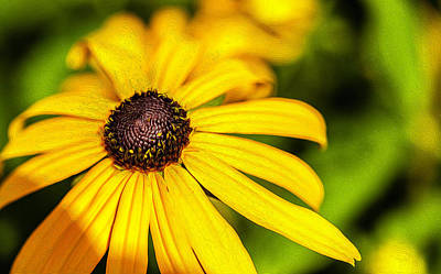 Photograph - Black Eyed Susan by Reynaldo Williams