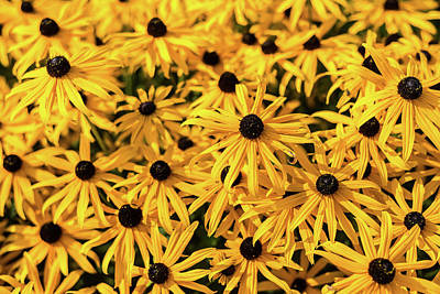 Photograph - Black-eyed Susan Riot by Robert Mitchell