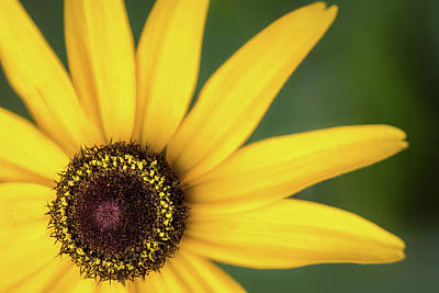 Photograph - Black-eyed Susan by Ron Pate