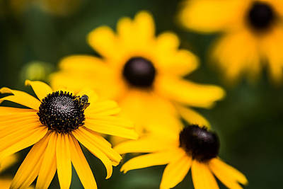 Black Eyed Susan Art Print by Shelby  Young