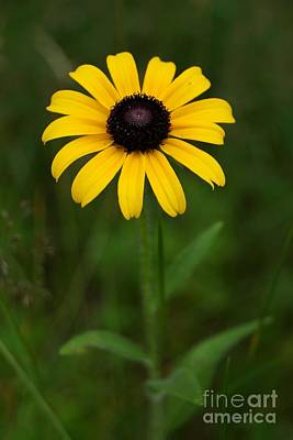 Photograph - Black Eyed Susan Single by Kerri Mortenson