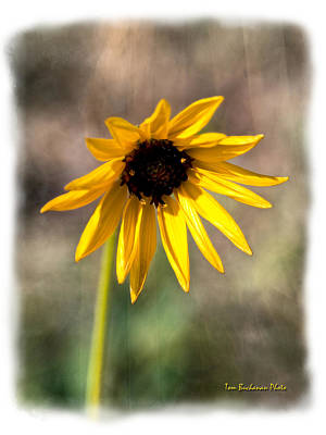 Photograph - Black-eyed Susan by Tom Buchanan