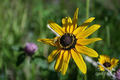 Photograph - Black Eyed Susan by Tony Baca