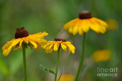 Photograph - Black Eyed Susan Trio by Maria Urso