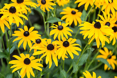 Black-eyed Susan Up Close Art Print by E Faithe Lester