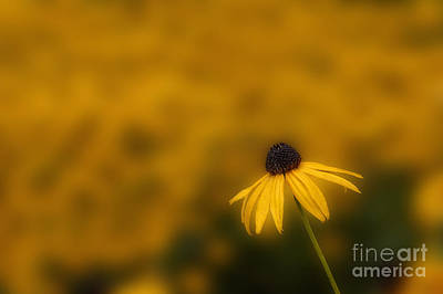Photograph - Black-eyed Susan Wild Flower by Dan Friend