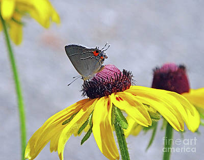 Photograph - Black Eyed Susan 10 And Grey Hairstreak Butterfly by Lizi Beard-Ward