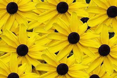 Photograph - Black-eyed Susans 02 by Jim Dollar