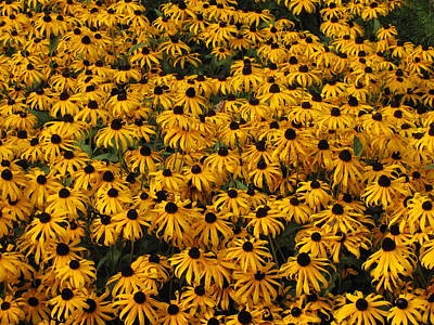 Photograph - Black Eyed Susans 2 by George Jones
