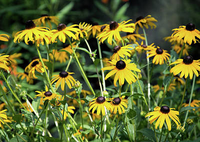 Photograph - Black Eyed Susans by Ed Waldrop