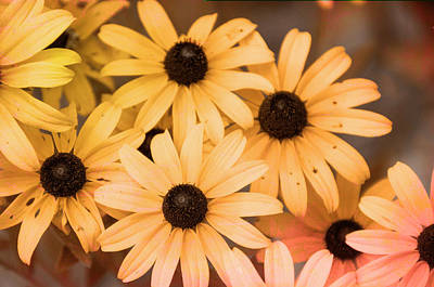 Photograph - Black-eyed Susans Enhanced by Phyllis Taylor