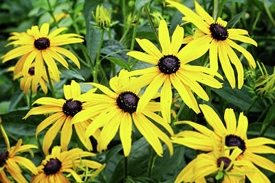 Stem Photograph - Black Eyed Susans- Fine Art Photograph By Linda Woods by Linda Woods