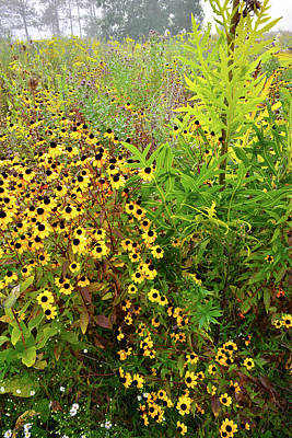 Photograph - Black-eyed Susans Galore At Brookdale by Ray Mathis