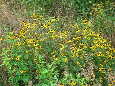 Photograph - Black Eyed Susans by George Jones