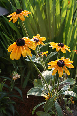 Black-eyed Susans Art Print by Greg Joens