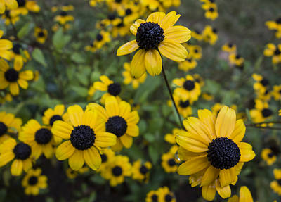 Photograph - Black-eyed Susans In The Rain by Loree Johnson
