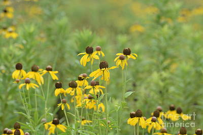 Photograph - Black-eyed Susans by Maria Urso
