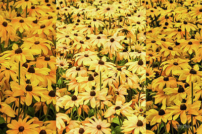 Photograph - Black-eyed Susans by Mike Braun