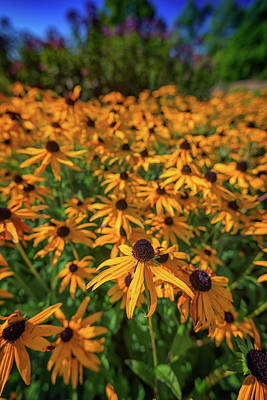 Photograph - Black-eyed Susans by Rick Berk