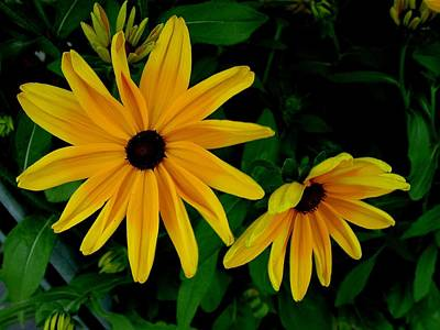 Black-eyed Susans Art Print by Robert Knight