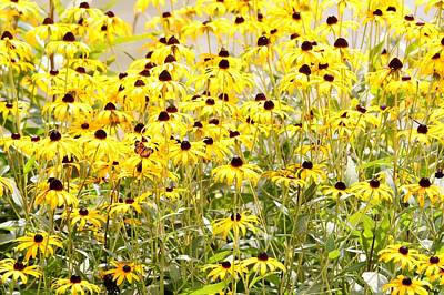 Photograph - Black Eyed Susans by Robert Papps