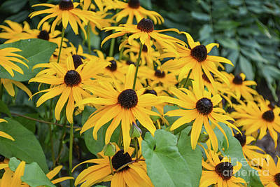 Photograph - Black-eyed-susans by Zaira Dzhaubaeva