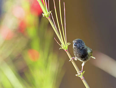 Photograph - Black-faced Grassquit by Jean-Luc Baron