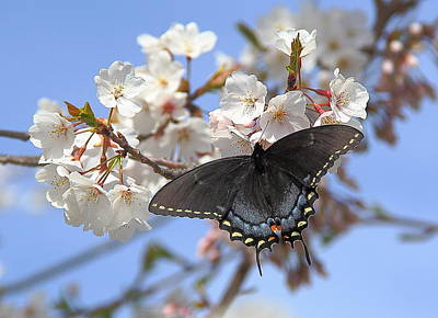 Photograph - Black Female Swallowtail Butterfly by Allen Nice-Webb